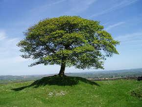 A lone tree on Grindon Moor, UK